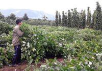 Chiêu 'mua rễ hồ tiêu' của thương lái Trung Quốc tái xuất tại VN